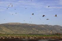 Upper Galilee, Cranes at the Hula lake by Hanan Isachar