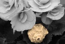 Begonia and Shell von Angela Bruno