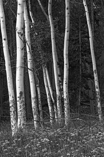 Aspen Trees by Colorado Images
