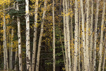 Aspen and Evergreens by Colorado Images