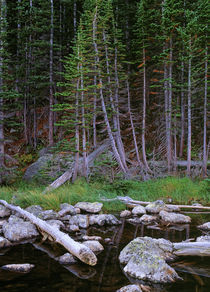 Evergreens by Colorado Images