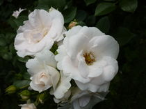 Rose Aspirin by Eva Hedbabny