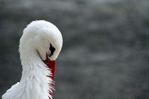 The Shy Stork von Raz Shwaizer