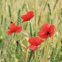 Poppies by Maria Livia Chiorean
