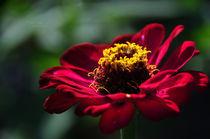 Simple flower von Maria Livia Chiorean