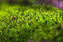 Ladybug