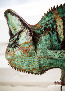 Scary-chameleon-king-solear-photography-2011