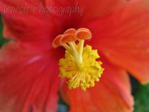 Hibiskis-by-jenesisphotography