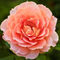 Rose-by-hajkmusic-d3cupca