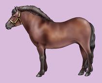 Pony breeds: Bardigiano by William Rossin