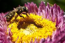 Bee flower by Pedro Celestino