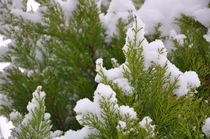 snow covering spruce by Jolanta Pawlicka