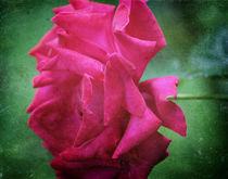 Die Rose von Angela Bruno