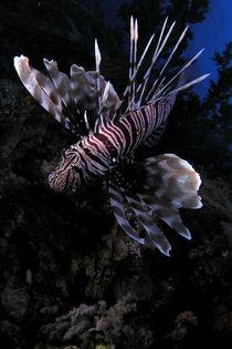 Lion fish von Lorenzo Parma