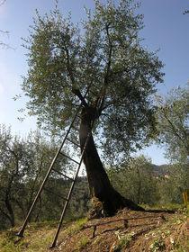 Stairs on the olive tree von Lorenzo Parma
