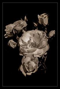 A pack of roses by Alexandru Busuioc