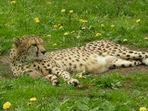 Cheetah by Katia Zaccaria-Cowan