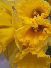 Tri-daffodil-by-drearywishes-d3ezazu