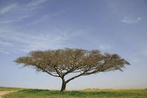 Israel, Acacia Raddiana tree in the Negev desert by Hanan Isachar