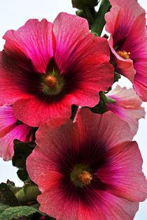 Dsc-0248-malve-flower