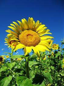 Sonnenblume von Maria-Anna  Ziehr