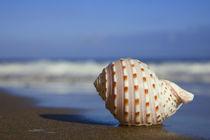 Beach Seashell von Alex Bramwell