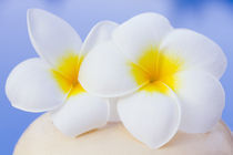 Frangipani flowers by Alex Bramwell