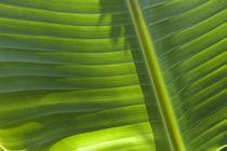 Banana Leaf von Alex Bramwell