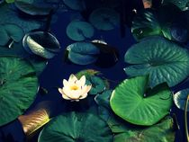 Lonely waterlilly by Emilia Mocan