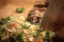 turtle von Anastasia Agafonova