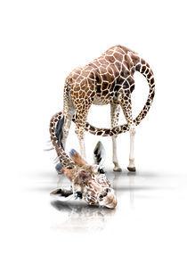 Giraffe-langerkals-kleine-verk