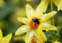 Dahlie mit Biene by Udo Schiffgen