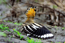 The Hoopoe  von Curtis Cheng