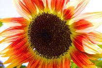 Sonnenblume by Udo Schiffgen