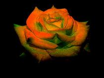 Rose by Cornelia Greinke