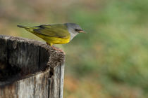 Mourning Warbler  by Howard Cheek