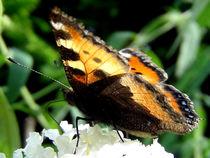Schmetterling makro Schmetterling , Blüte mit Schmetterling Nektar by Simone Cuambe