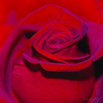 Rosen_001 by E. Axel  Wolf