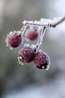 Frozen Berries by George Kay