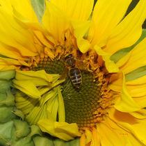 Sonnenblume mit Biene von E. Axel  Wolf