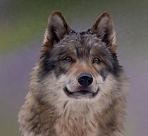 Grauer-wolf