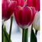 Group-tulip