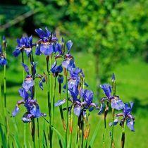 Iris-sibrica