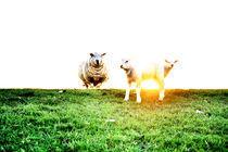 Schafe auf dem Deich von Thomas Schaefer  (www.ts-fotografik.de)