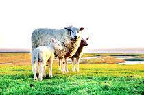 Schaf mit zwei Lämmern auf dem Deich von Thomas Schaefer  (www.ts-fotografik.de)