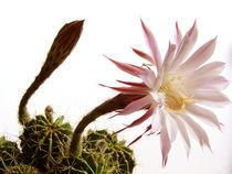 Cactus Flower by Luka Balic