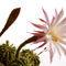 Kaktus-cvijet-copy