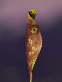 shy leaf  by Lucja Lipinska