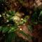 Flowering-myrtle-1