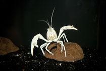 """Procambarus clarkii """"white pearl"""" -  weißer Sumpfkrebs by Roland Hemmpel"""